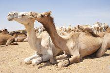 Free Dromedary Camels At A Market Royalty Free Stock Image - 19191546