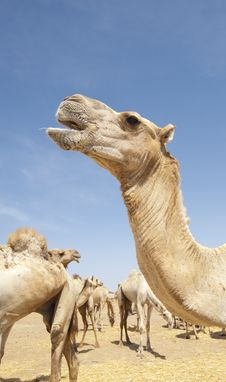 Free Head Of A Dromedary Camel Stock Photo - 19191580