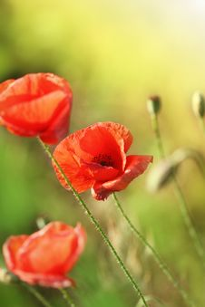 Free Beautiful Red Poppies On The Field Royalty Free Stock Images - 19192259