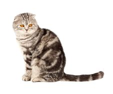 Free Scottish Fold Cat Royalty Free Stock Photography - 19192497