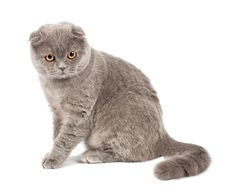 Free Scottish Fold Cat Grey Stock Image - 19192501