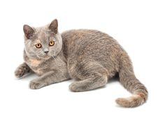 Free British Kitten Royalty Free Stock Photos - 19192508