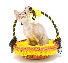 Free Cat Devon Rex Royalty Free Stock Images - 19192529