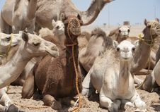 Free Dromedary Camels At A Market Royalty Free Stock Image - 19192576