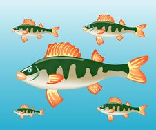 Free Fish Perch In Water Royalty Free Stock Photography - 19193497