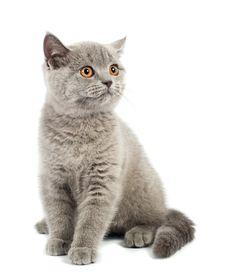 Free British Kitten Stock Photography - 19193652
