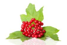 Free Berries Of Red Viburnum Royalty Free Stock Image - 19194246
