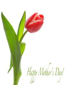 Spring Tulip Royalty Free Stock Image