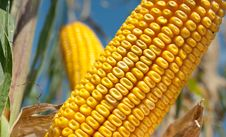 Free Corn Field Royalty Free Stock Photography - 19194677