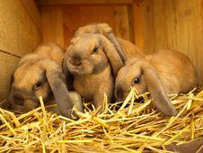 Free Four Rabbit Pups Royalty Free Stock Image - 19194706