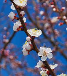 Flowering Branch Of Apricot Stock Images