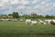 Free Sheep On Pasture Royalty Free Stock Image - 19195956