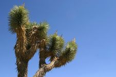 Joshua Tree Royalty Free Stock Images