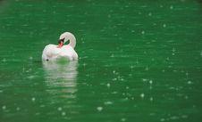 Free White Swan On A Lake Royalty Free Stock Image - 19196846