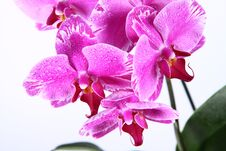Free Orchid Stock Images - 19196964