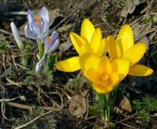 Free Crocuses Royalty Free Stock Photos - 19197438
