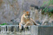 Free Puma Royalty Free Stock Photos - 19197698