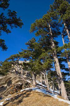 Free Pine-trees Stock Photography - 1920502
