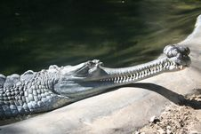 Free Indian Gharial Stock Photography - 1920862