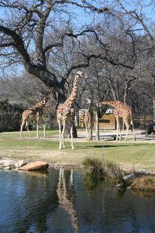 Free Giraffes Royalty Free Stock Photo - 1920875