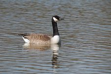 Swimming Canadian Goose Royalty Free Stock Photography