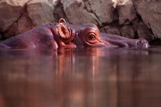 Free Hippo Stock Photo - 1922740