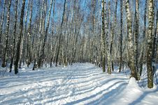 Free Path In Birch Forest Royalty Free Stock Photos - 1923578