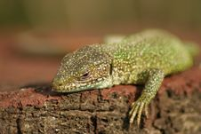 Free Lizard Having Sunbath Royalty Free Stock Photo - 1924845