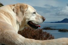 Free A Labrador And It S Tail Stock Photography - 1926412