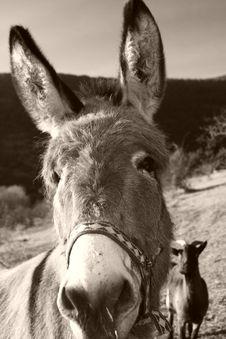Free Funny Grey Donkey Royalty Free Stock Photos - 1926628