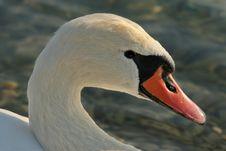 Free Swan Stock Photos - 1928823