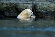 Free Polar Bear, Eating. Royalty Free Stock Photo - 1928855