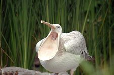 Pelican Is Tired Stock Photo