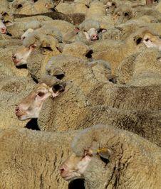 Free Sheep - Mob Royalty Free Stock Image - 1929686