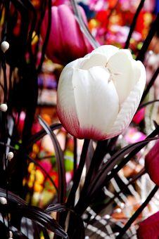 Free Tulip Royalty Free Stock Image - 1929986