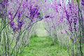 Free Cercis In Blossom Royalty Free Stock Photo - 19203405