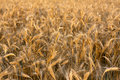 Free Field Of Wheat Royalty Free Stock Images - 19204089