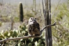 Free Great Horned Owl Stock Photo - 19200230