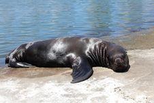 Free Sea Lion Royalty Free Stock Photos - 19200408