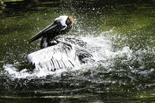 Free Brown Pelican Stock Photos - 19200713