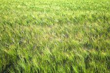 Free Wheat Field Texture Stock Image - 19201991