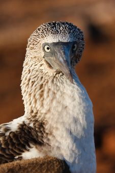 Free Blue-Footed Booby Stock Photos - 19202443