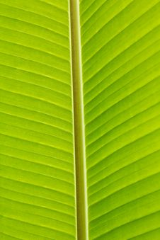 Free Fresh Green Banana Leaf Royalty Free Stock Photos - 19202938