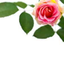 Rose Isolated On A White Stock Photo