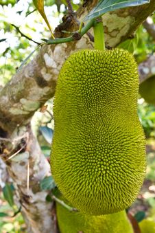 Free Young Jackfruit On Tree Stock Images - 19203334