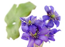 Free Lovely Wild Violet Flowers Royalty Free Stock Photography - 19203697