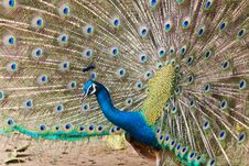 Free Thai Peacock Spread The Tail Feathers Royalty Free Stock Photography - 19203877