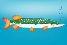 Ravenous Fish Pike Stock Images