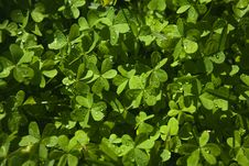 Free Clover Carpet Royalty Free Stock Photography - 19205057
