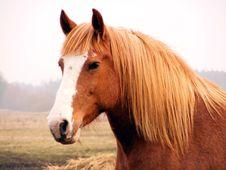 Free Close Up Of Palomino Draft Horse Stock Image - 19205491